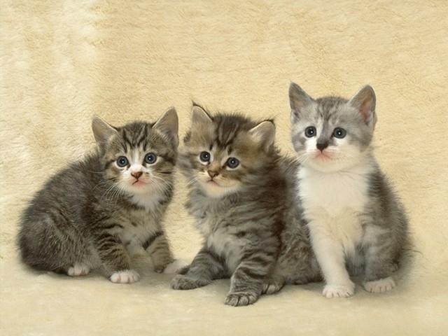3 Kafadar Kedi
