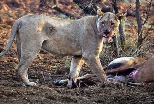 Aslan avının hamile olduğunu öğrenince-85