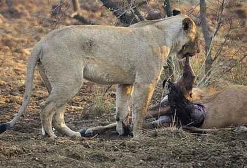 Aslan avının hamile olduğunu öğrenince-97