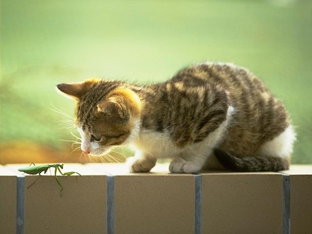 Kedi ve Çekirge