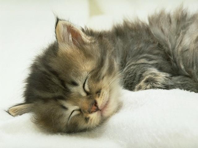 Uykucu Kediş